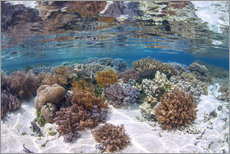 Vinilo para la pared  A healthy and diverse coral reef grows in Raja Ampat, Indonesia. - Ethan Daniels