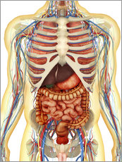 Vinilo para la pared  Human body with internal organs, nervous system, lymphatic system and circulatory system.