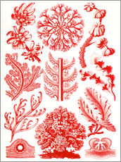 Vinilo para la pared  Red algae and sea grass or Florideae - Ernst Haeckel