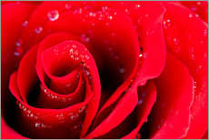 Vinilo para la pared  Red rose bloom with dew drops