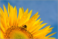 Cuadro de plexi-alu  Sunflower against blue sky - Edith Albuschat