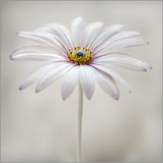 Vinilo para la pared  Cape daisy - Mandy Disher
