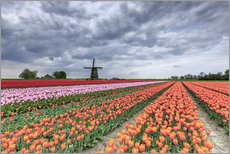 Cuadro de plexi-alu  Dark clouds over fields of multicolored tulips and windmill, Berkmeer, Koggenland, North Holland, Ne - Roberto Sysa Moiola