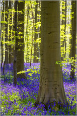 Vinilo para la pared  Bluebell flowers (Hyacinthoides non-scripta) carpet hardwood beech forest in early spring, Halle, Vl - Jason Langley