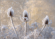 Katho Menden - Hoar frost on a teasel in wintertime