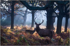 Vinilo para la pared  A red deer stag in a misty forest in Richmond park, London. - Alex Saberi