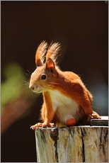 Cuadro de plexi-alu  Red squirrel with hazelnut - Uwe Fuchs