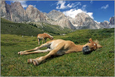 Vinilo para la pared  Peacefully sleeping Haflinger foal on a mountain meadow - Michael Rucker