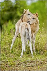 Vinilo para la pared  Konik, wild horse, two foals playing