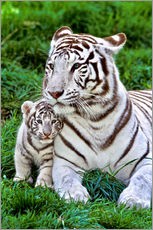 Vinilo para la pared  White Tiger, Mother with Cub - Gérard Lacz