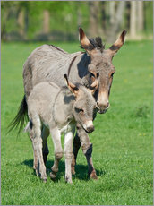 Cuadro de plexi-alu  Donkey mum and her little baby