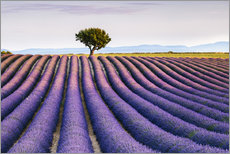 Vinilo para la pared Lavender field and tree at sunset, Provence