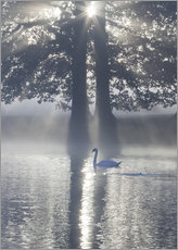 Cuadro de plexi-alu  Swan on misty lake - Alex Saberi