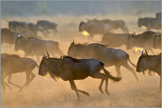 Cuadro de plexi-alu  Wildebeests during the great migration, Serengeti - age fotostock