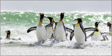 Vinilo para la pared  King Penguin (Aptenodytes patagonicus) on the Falkand Islands in the South Atlantic. Group of pengui - Cubo Images