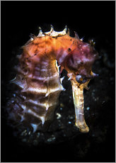 Cuadro de plexi-alu  A seahorse lit with a snoot from behind, Tulamben, Bali, Indonesia. - Brook Peterson