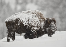 Cuadro de plexi-alu  Bison (Bison bison) bull covered with snow in snowfall in the winter, Yellowstone National Park, Wyo - James Hager