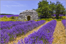 Póster  Stone hut in the lavender field - Jürgen Feuerer