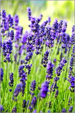 Vinilo para la pared  Close up of lavender flowers in a field - Rob Tilley