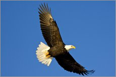 Vinilo para la pared  Bald Eagle in Flight - David Northcott