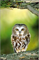 Vinilo para la pared  Northern saw-whet owl - Dave Welling