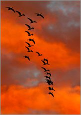 Cuadro de plexi-alu  Snow geese flying into the sunset - Cathy & Gordon Illg