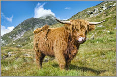Vinilo para la pared  Scottish Highland Cattle - Olaf Protze