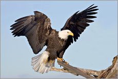 Vinilo para la pared  A bald eagle with outstretched wings - Charles Sleicher