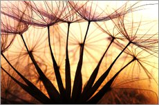 Vinilo para la pared Dandelion in the sunset II
