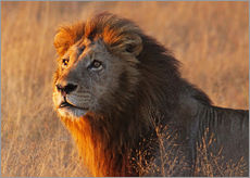 Vinilo para la pared  Lion in the evening light - Africa wildlife - wiw