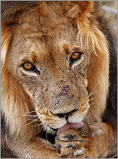 Vinilo para la pared  View of the lion - Africa wildlife - wiw