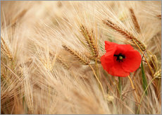 Cuadro de plexi-alu  Red poppy in wheat field - Falko Follert