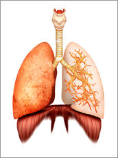 Vinilo para la pared Anatomy of human respiratory system, front view.