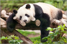 Cuadro de plexi-alu  Giant panda sleeping - Jan Christopher Becke