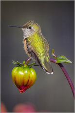 Vinilo para la pared  USA, Colorado. Hummingbird rests on flower bud. Credit as: Fred Lord / Jaynes Gallery / DanitaDelimo - Fred Lord