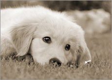 Vinilo para la pared  Golden Retriever cute puppy, monochrom - Katho Menden