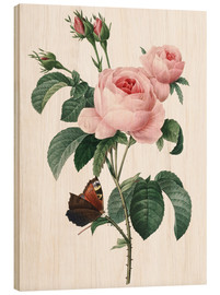 Cuadro de madera  Rose of a Hundred Petals - Pierre Joseph Redouté