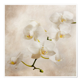Póster  white orchid - Hannes Cmarits