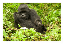 Póster  Eastern Gorilla with baby between leaves - Joe & Mary Ann McDonald