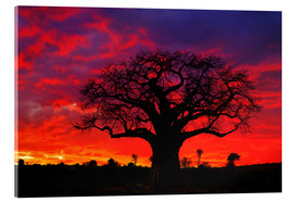Metacrilato  African baobab tree silhouetted at sunset  - Adam Jones