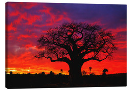 Lienzo  African baobab tree silhouetted at sunset  - Adam Jones