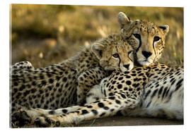 Metacrilato  Cheetah cub clings to his mother - Joe & Mary Ann McDonald