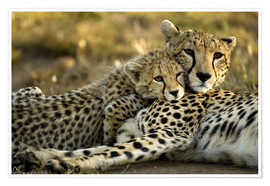 Póster  Cheetah cub clings to his mother - Joe & Mary Ann McDonald