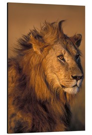 Aluminio-Dibond  Adult Male Lion - Paul Souders
