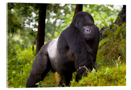 Metacrilato  Mountain Gorilla Akarevuro on tour through the rainforest - Ralph H. Bendjebar