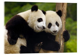 Metacrilato  Two young pandas on a tree trunk - Pete Oxford