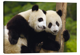 Lienzo  Two young pandas on a tree trunk - Pete Oxford