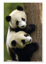 Póster  Giant Panda Babies (Ailuropoda melanoleuca) on a tree trunk - Pete Oxford