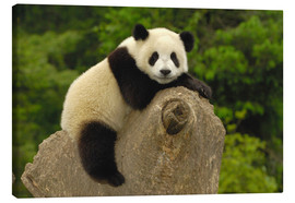 Lienzo  A panda baby sits on a tree trunk - Pete Oxford
