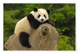 Póster  A panda baby sits on a tree trunk - Pete Oxford